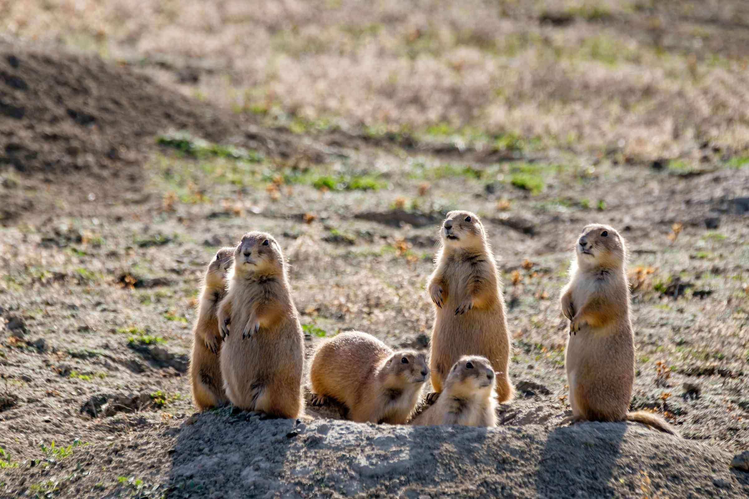 Prairie dogs in North Dakota