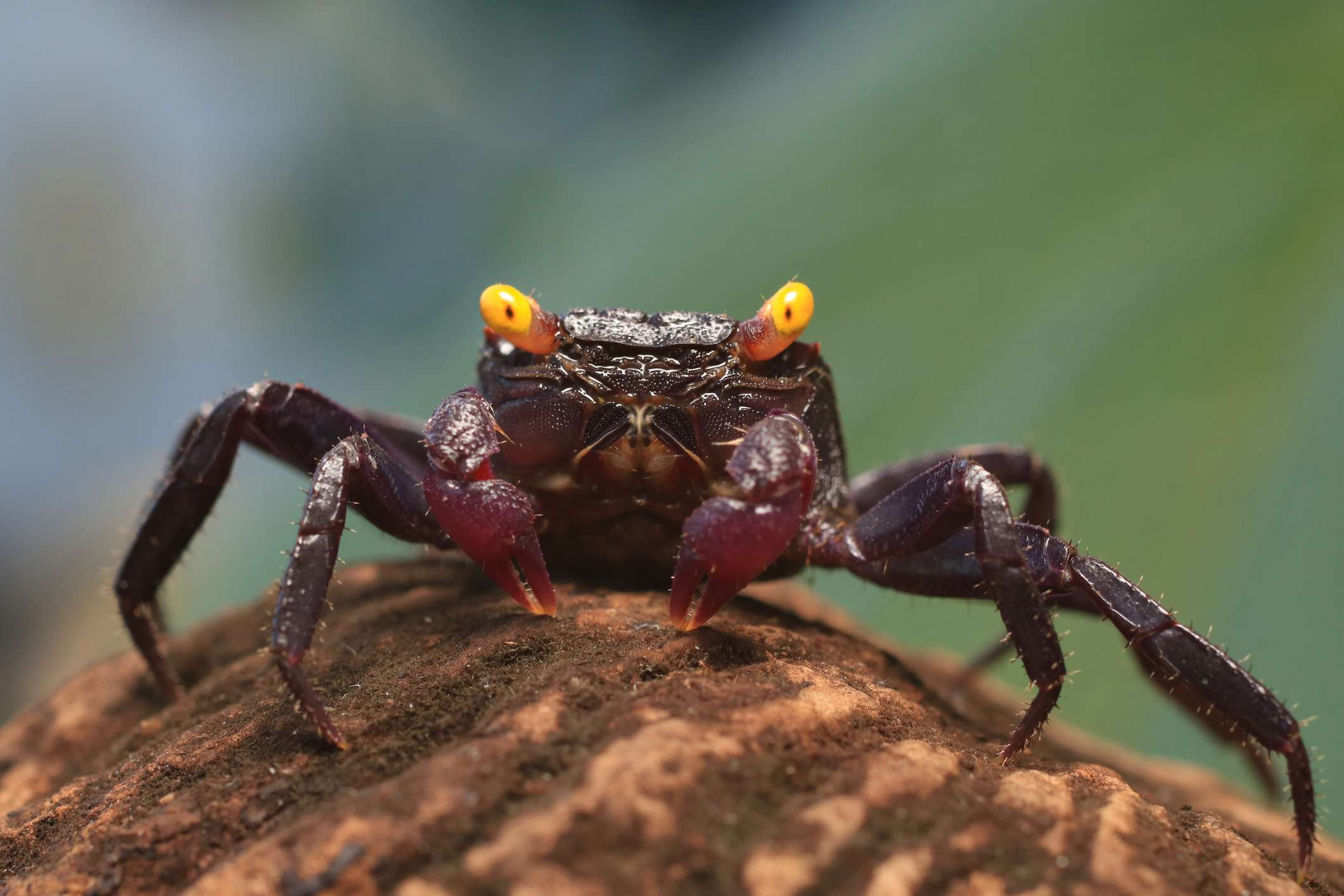 purple vampire crab with long legs and bright yellow eyes