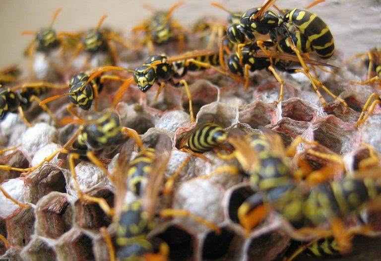 Wasps crawling on a nest