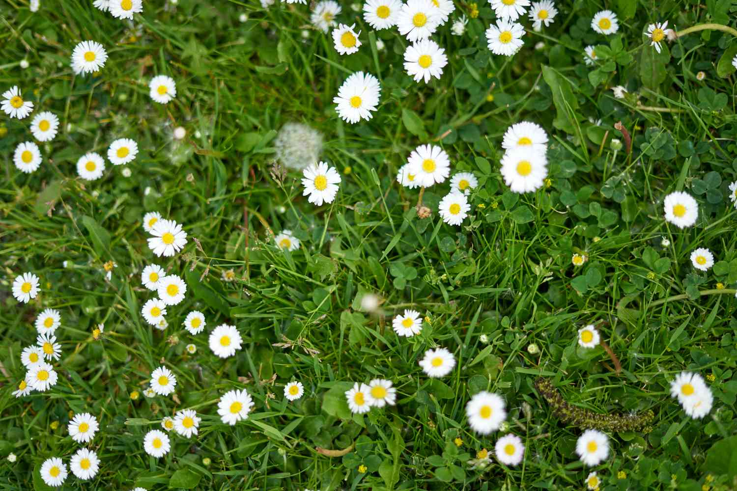 overhead view of european native plant lawn daisy growing wild
