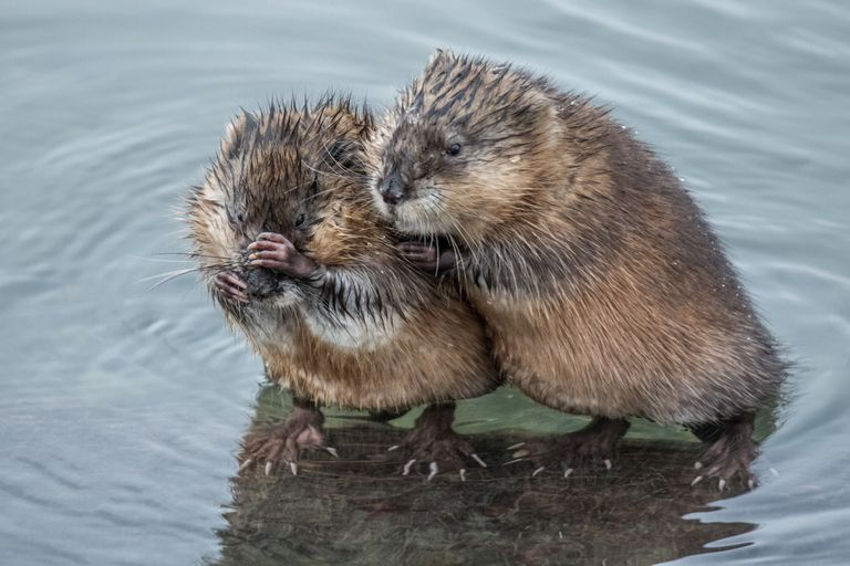 Two muskrats standing on a log in the water