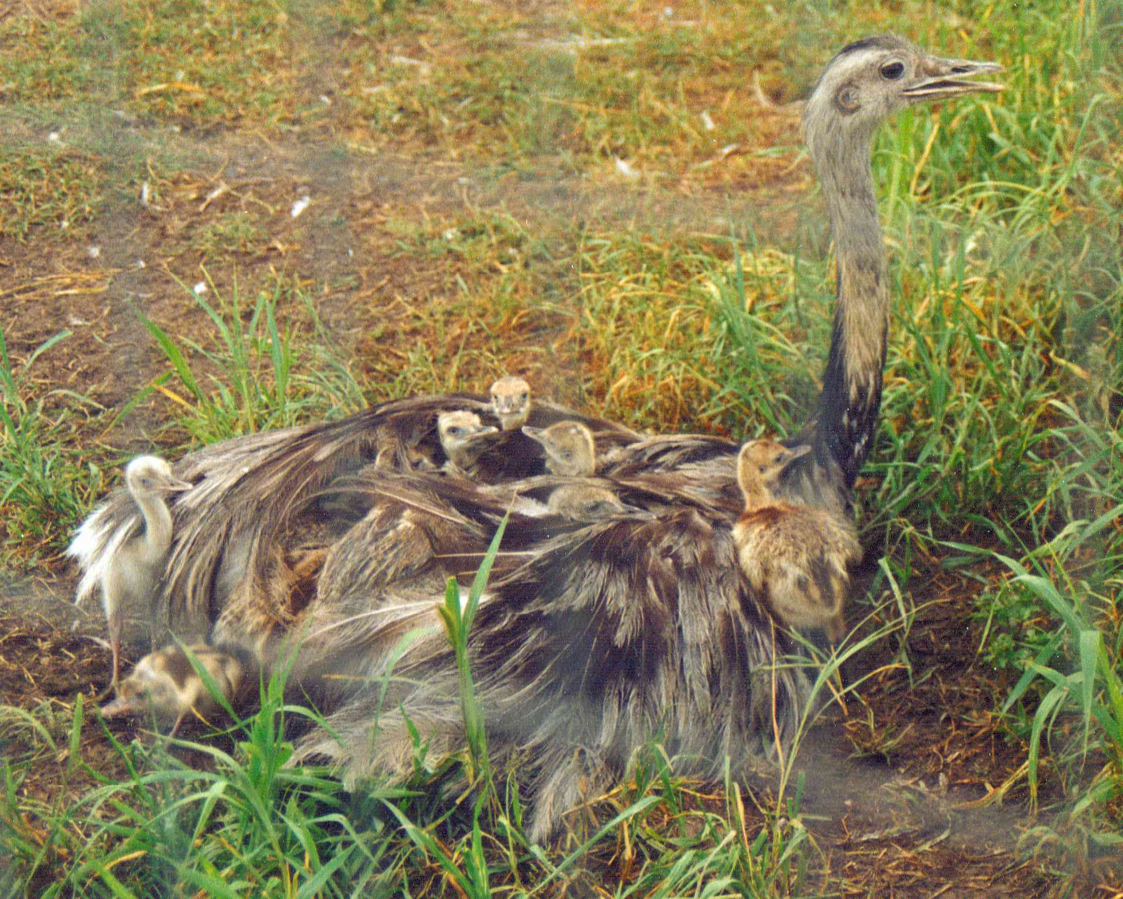 adult rhea with babies resting in its feathers