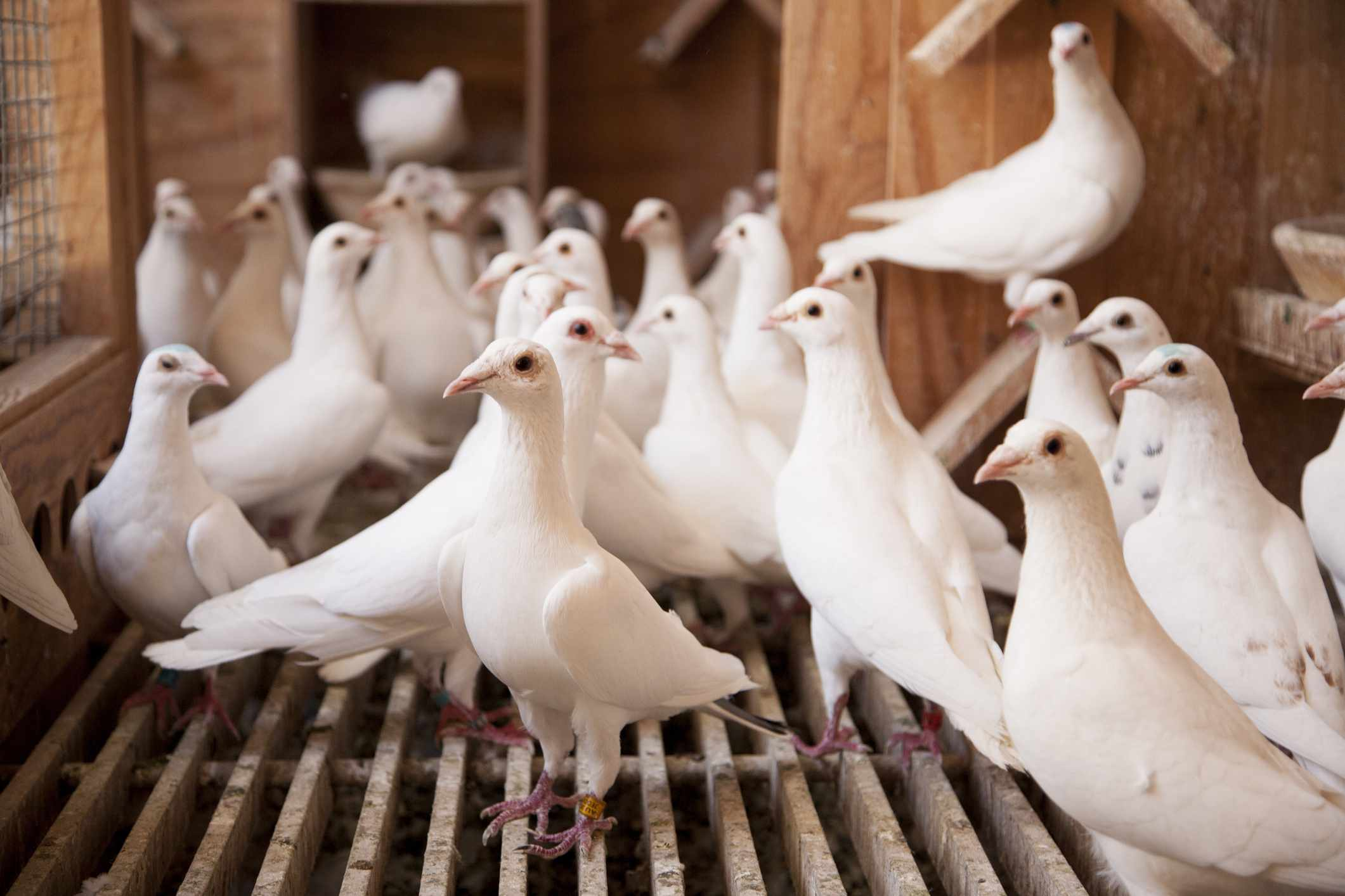 Group of carrier pigeons in a cage