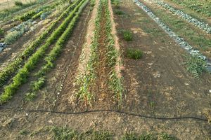 Commercial farm set up with large-scale rows of drip irrigation system