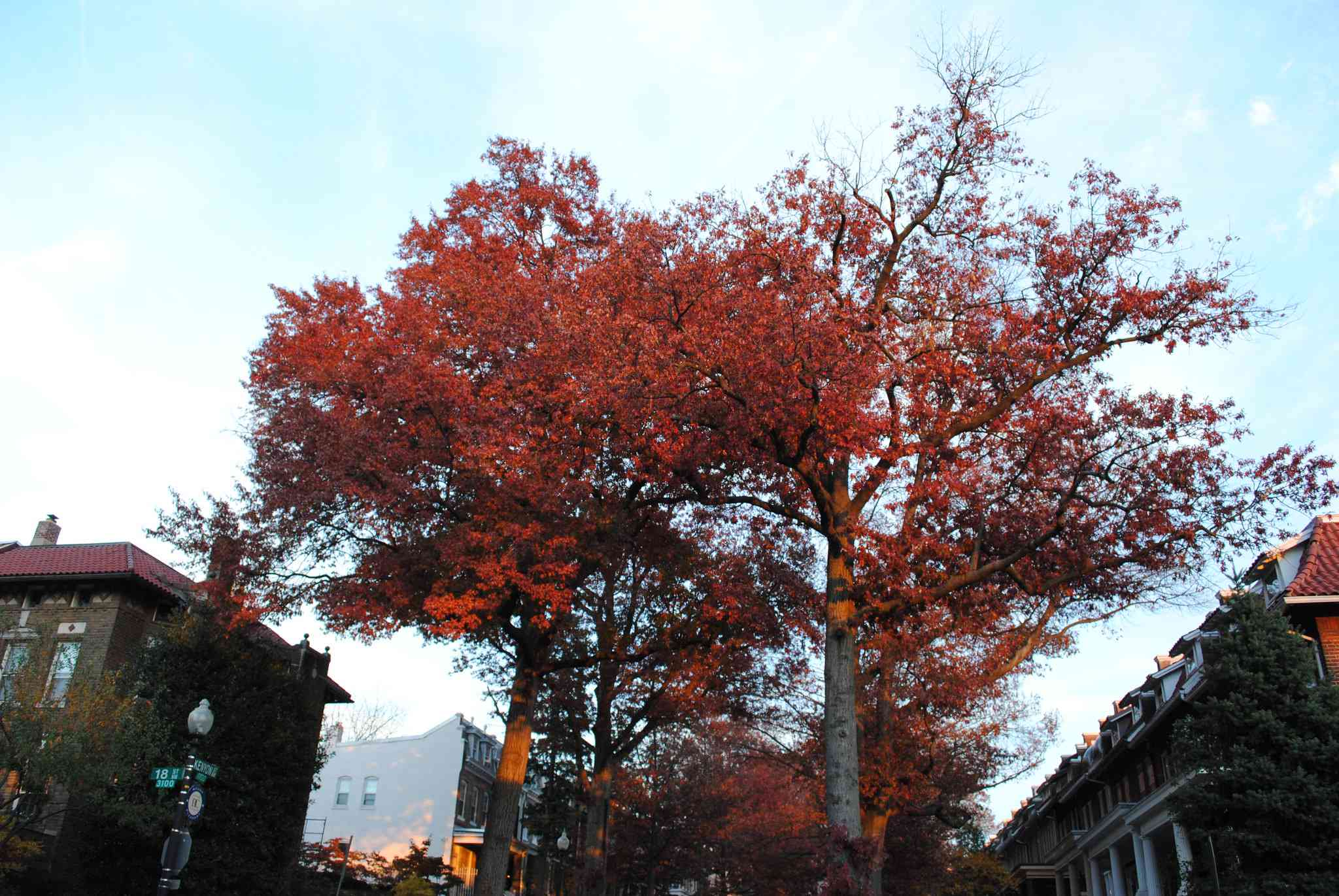 Red leaves on a Pin Oak tree in an urban street setting.