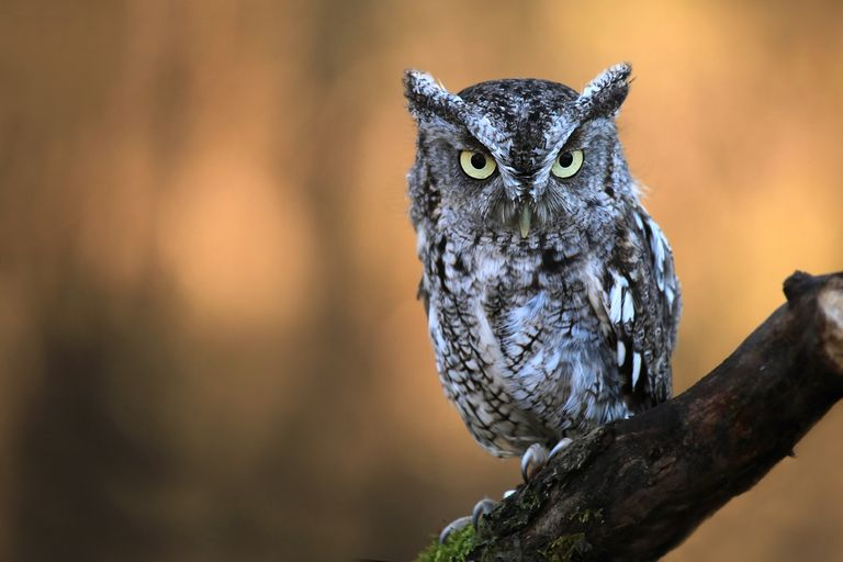 Eastern screech owl perched on a mossy branch