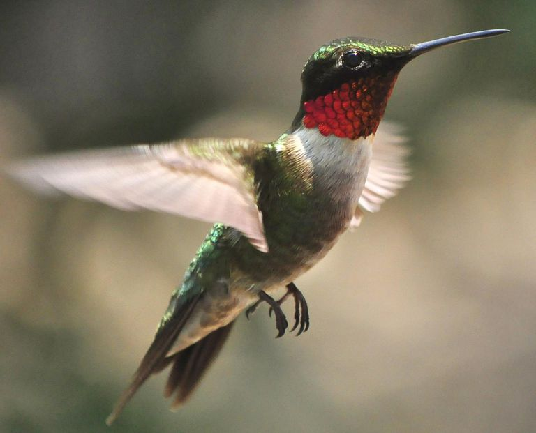 A ruby throated hummingbird flying in the air