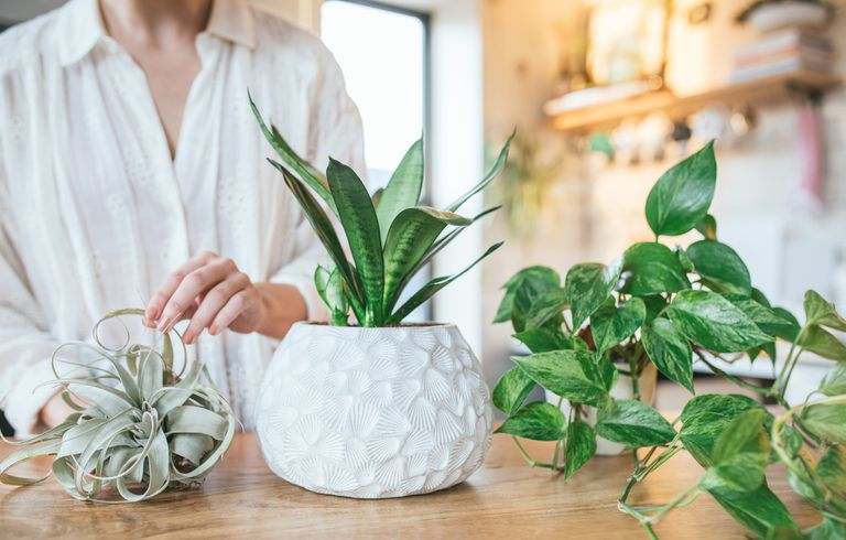 person in sunny kitchen displays three houseplants on wooden table