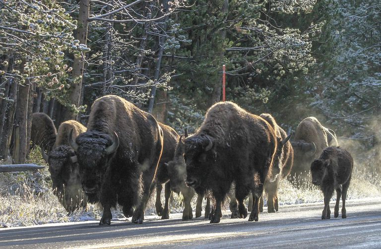 Bison walking on a Yellowstone street
