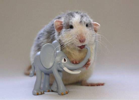A rat chews on a toy elephant's trunk