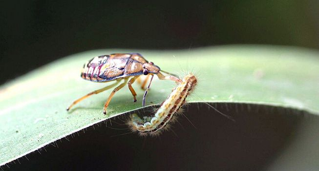 Spined soldier bug attacks a caterpillar