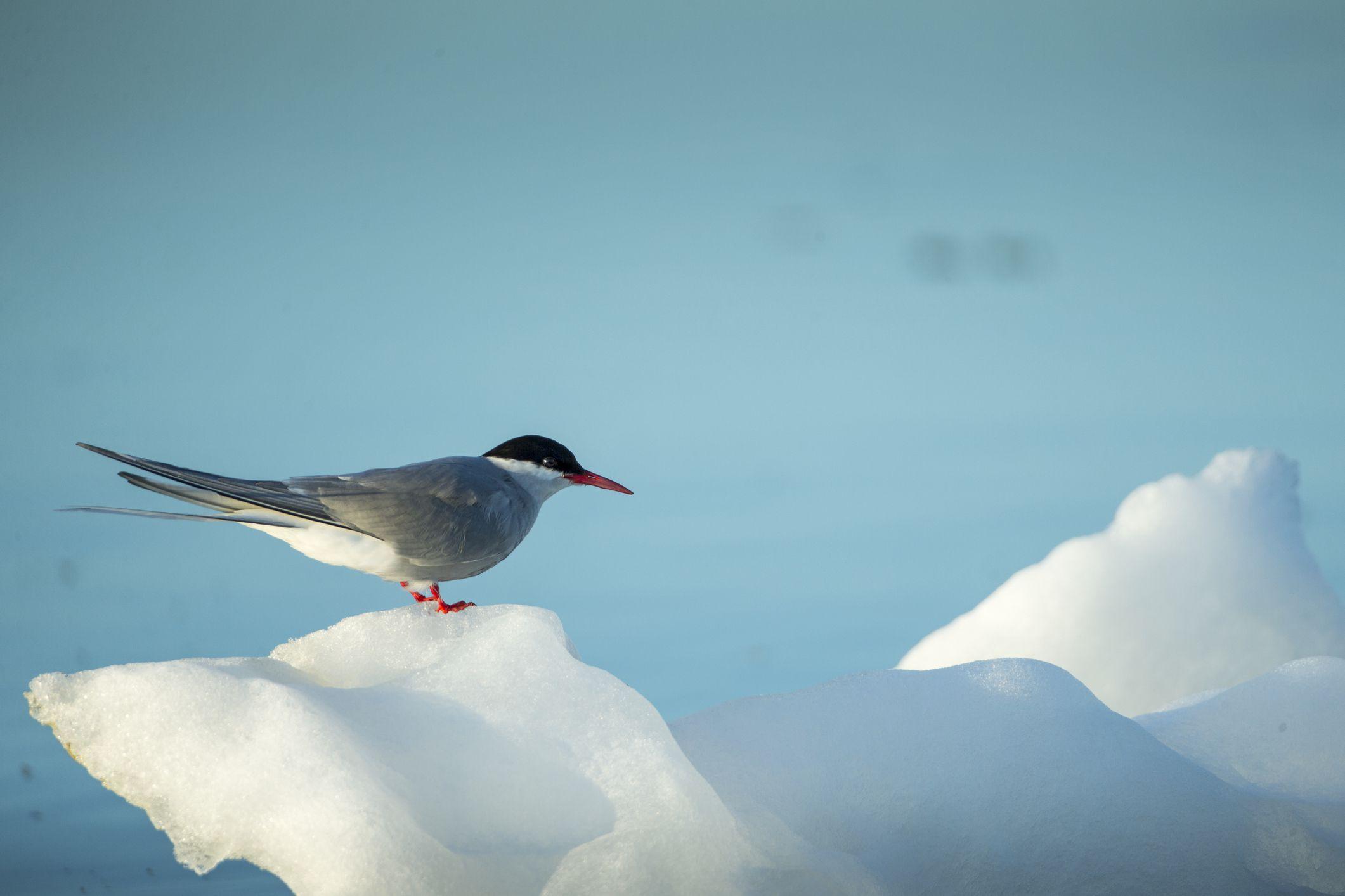 Arctic tern resting on sea ice.