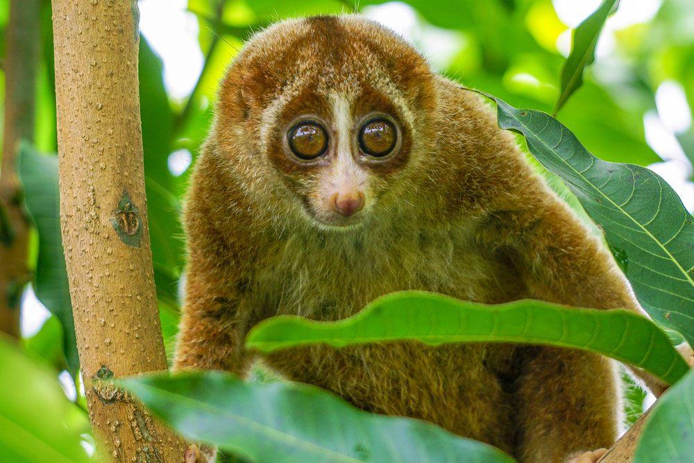 big eyed golden brown slow loris in tree