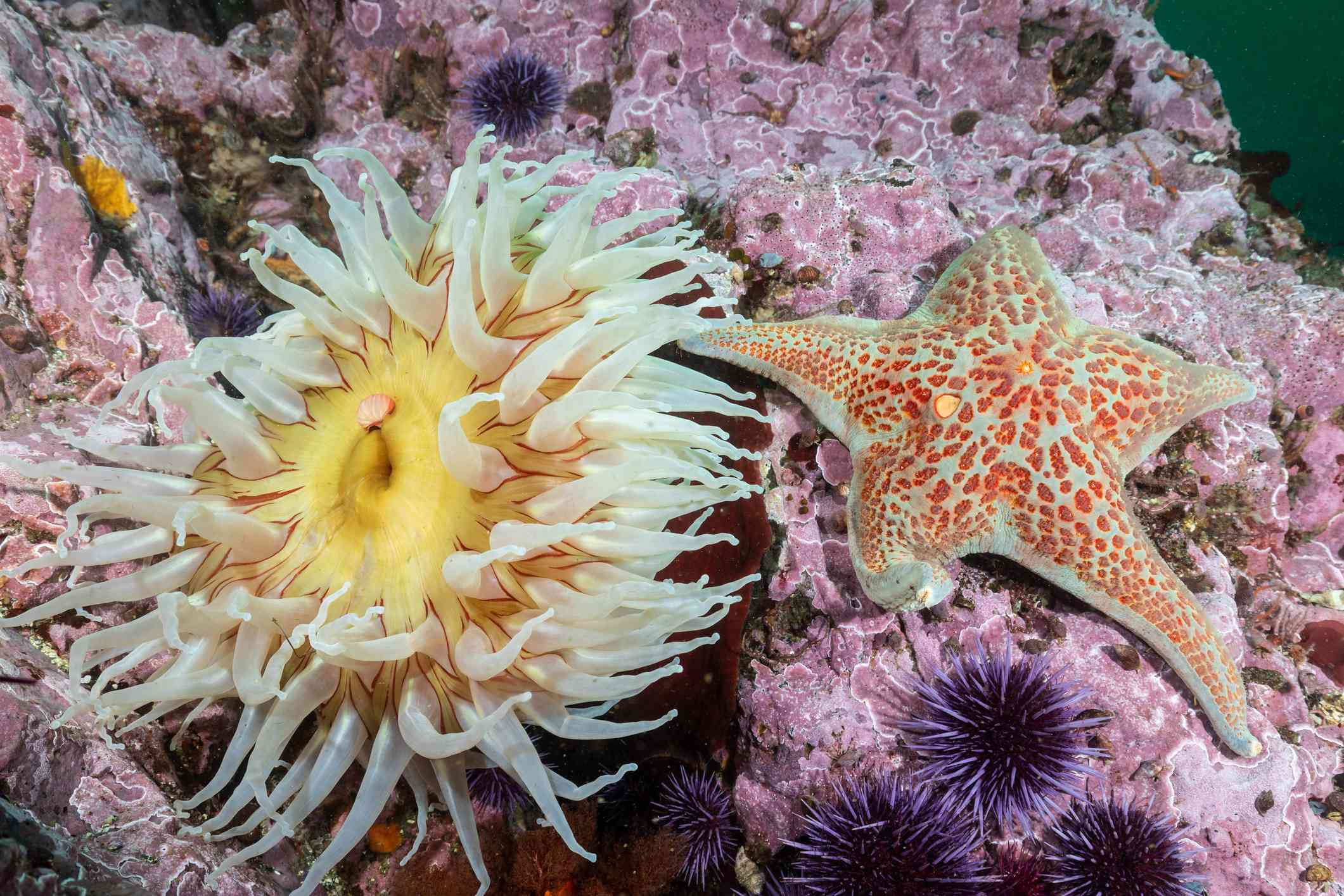 Leather starfish next to an anemone