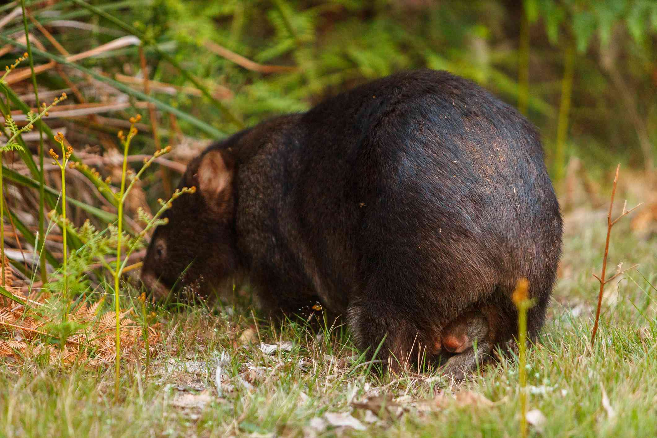 A female wombat (sow) with a joey peeking out from its pouch