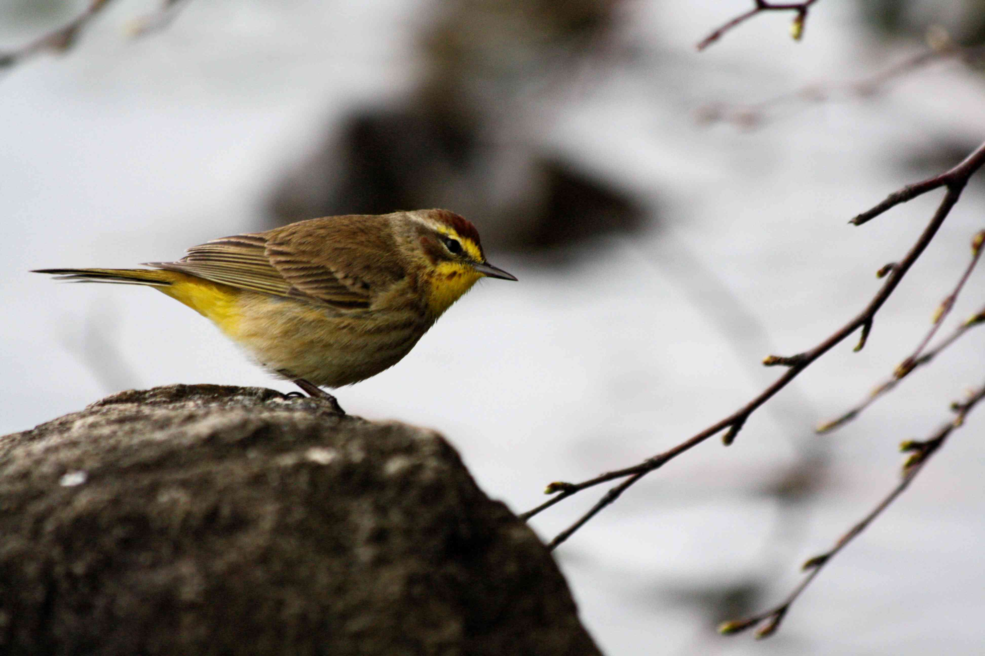 Side view of brown Palm Warbler on a rock