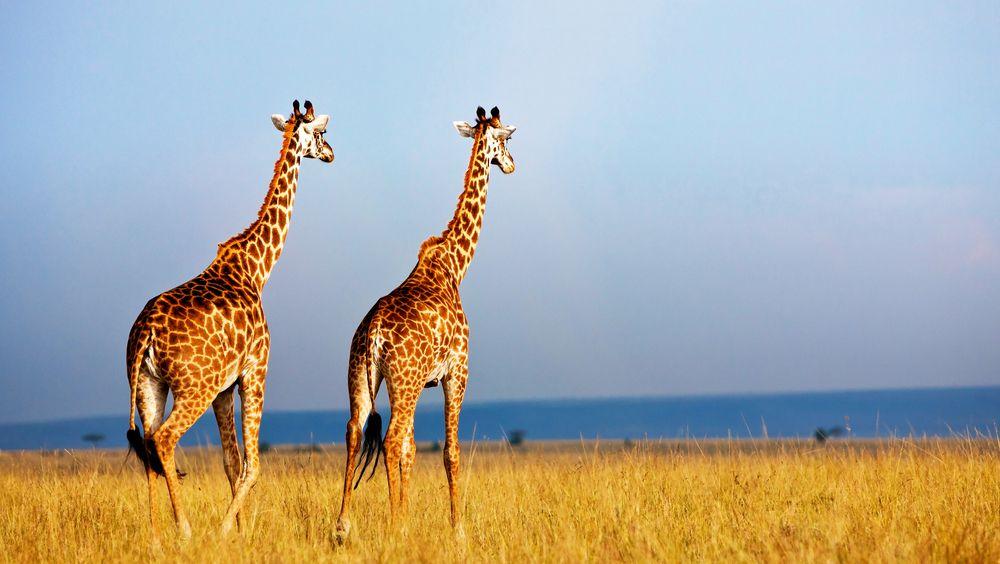 two giraffes at the Masai Mara National Reserve in Kenya, Africa