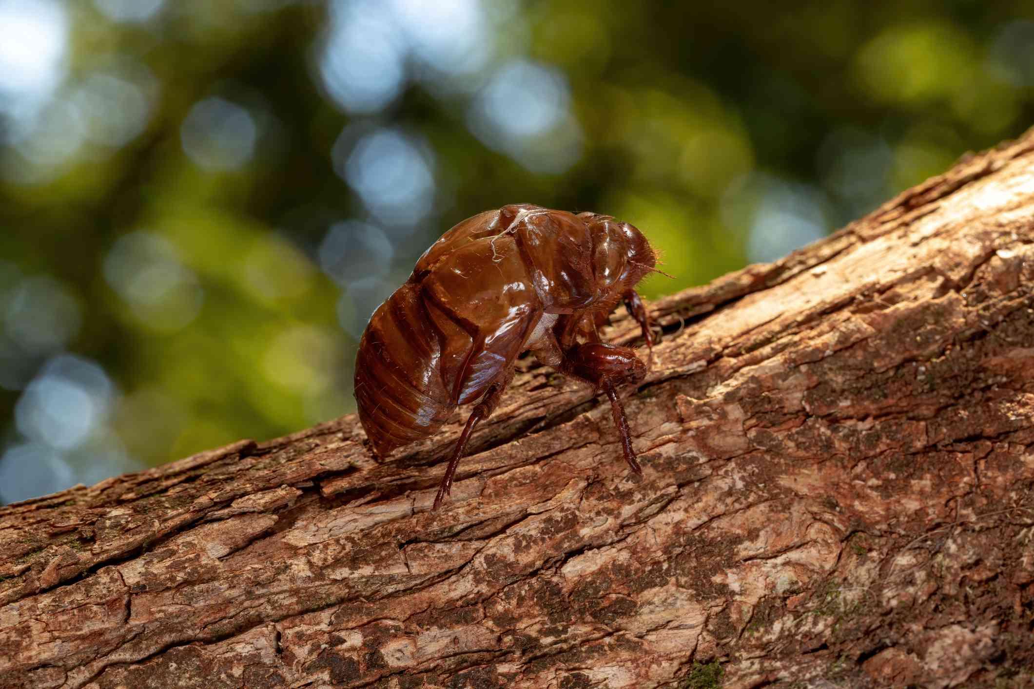 Abandoned exoskeleton of cicada on tree
