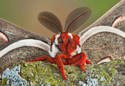 A closeup of a male cecropia moth