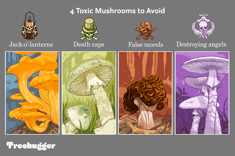color illustration showing four toxic mushrooms to avoid eating from treehugger website