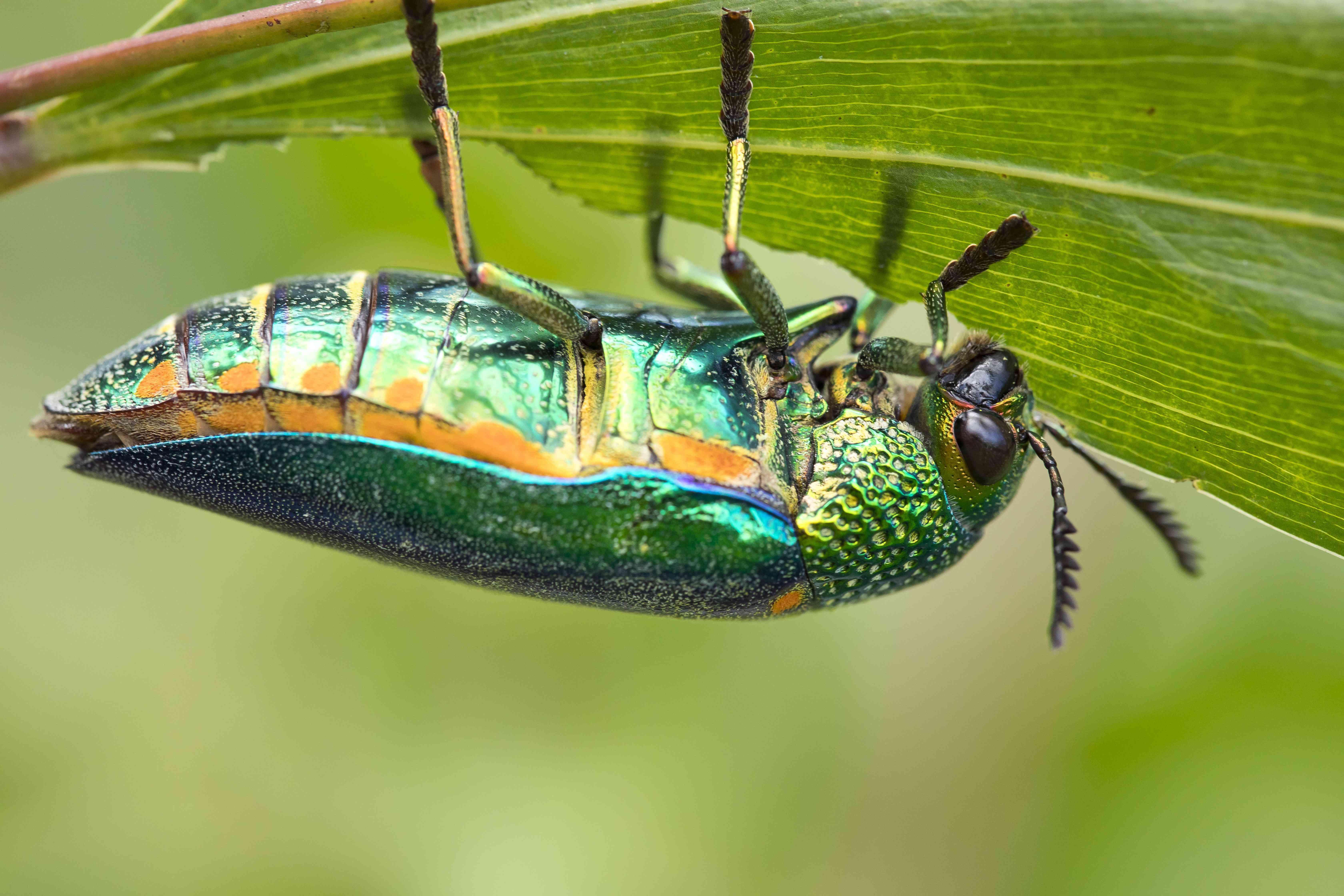 Jewel beetle upside down, eating a leaf
