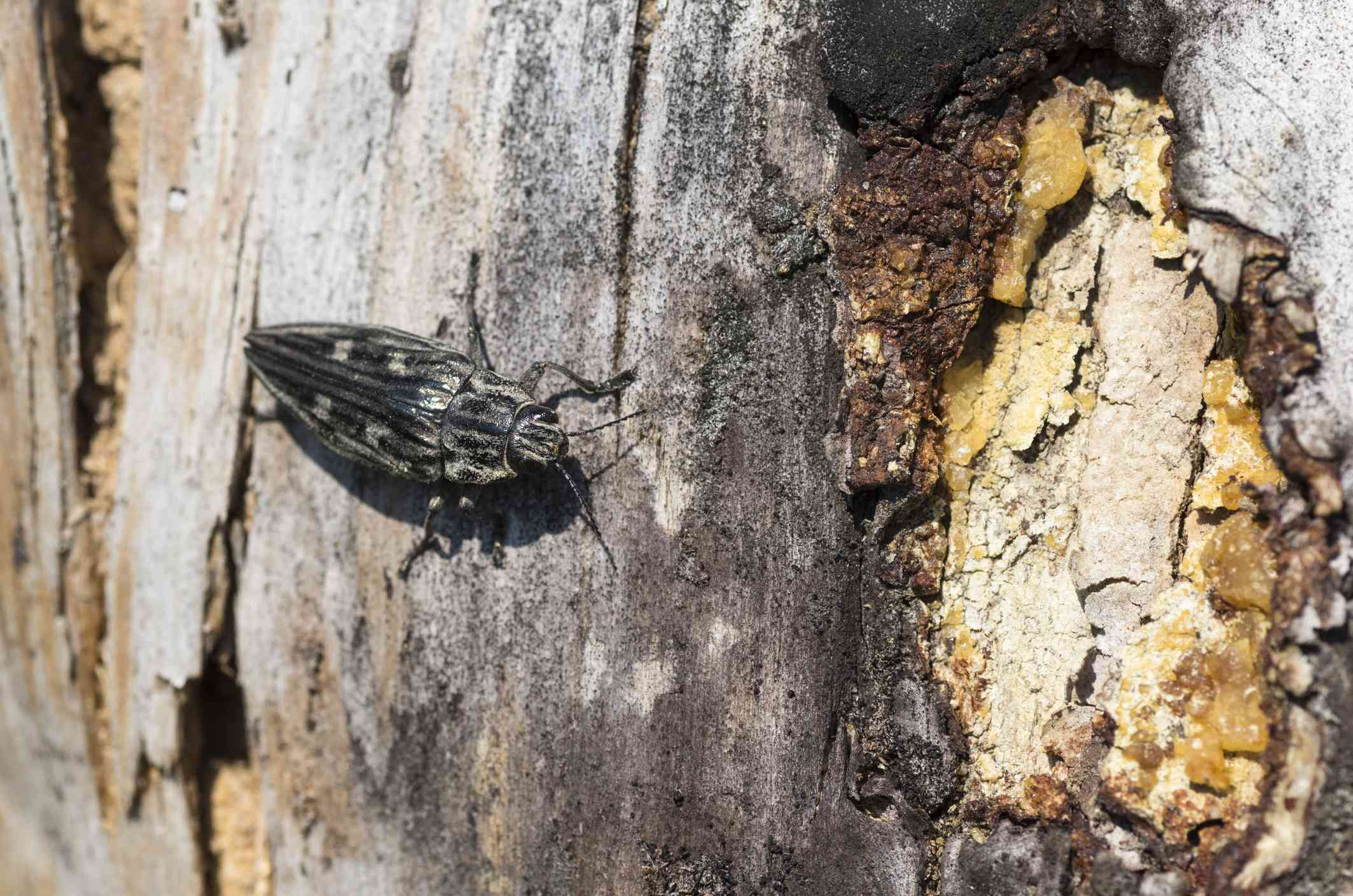A borer beetle on the trunk of a tree