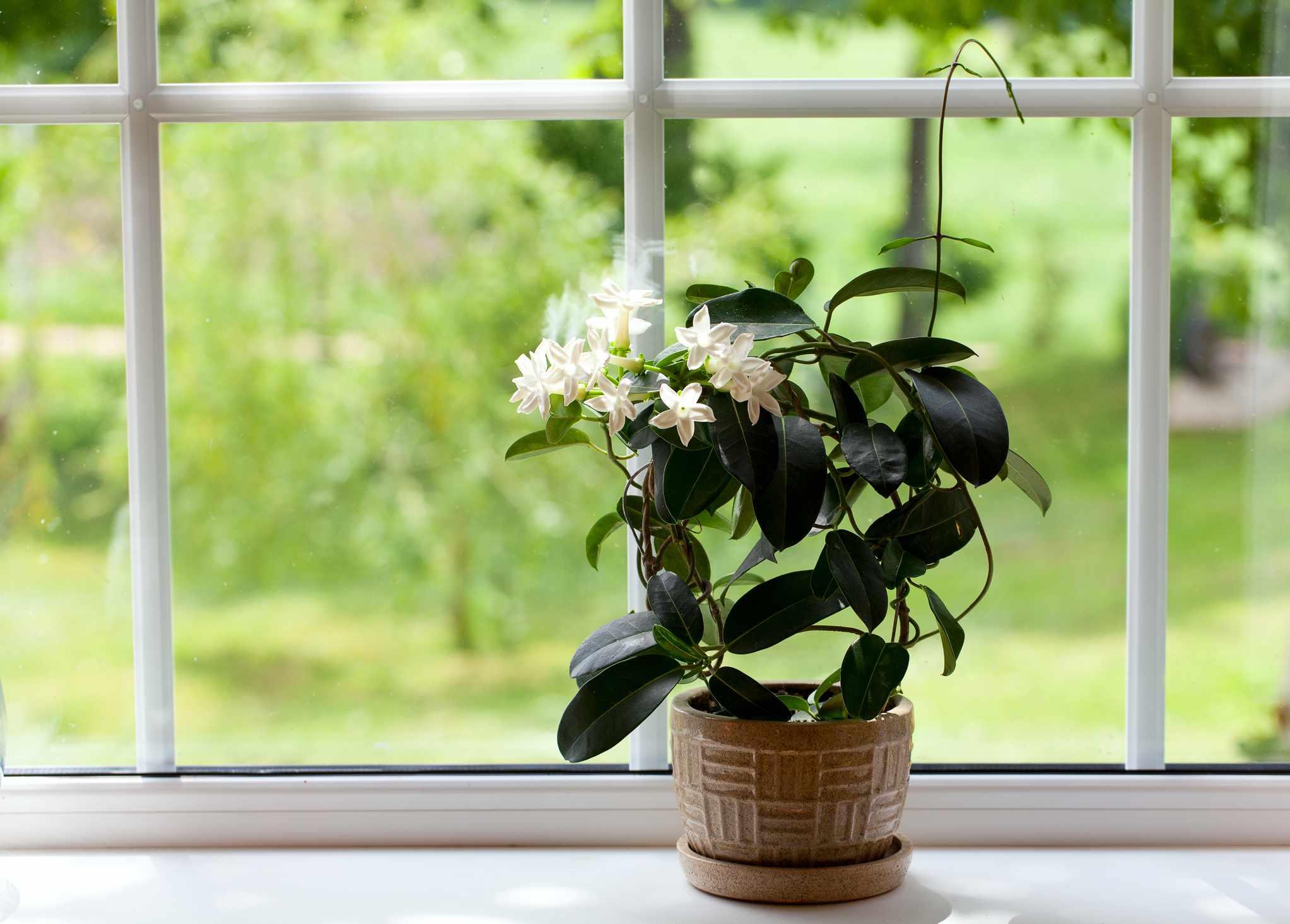Potted Jasmine Plant Indoors on Windowsill
