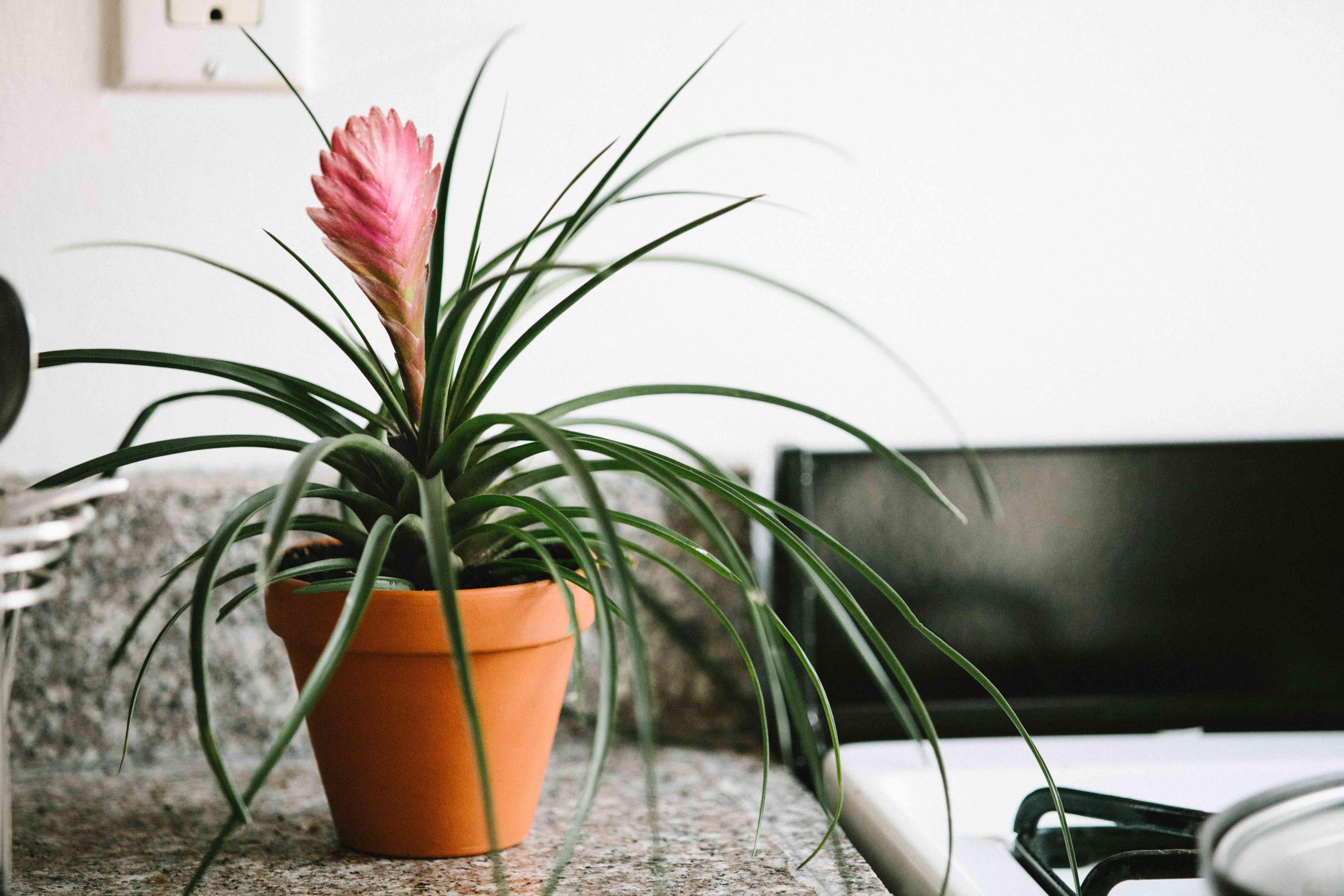 bromeliad plant next to oven range in kitchen
