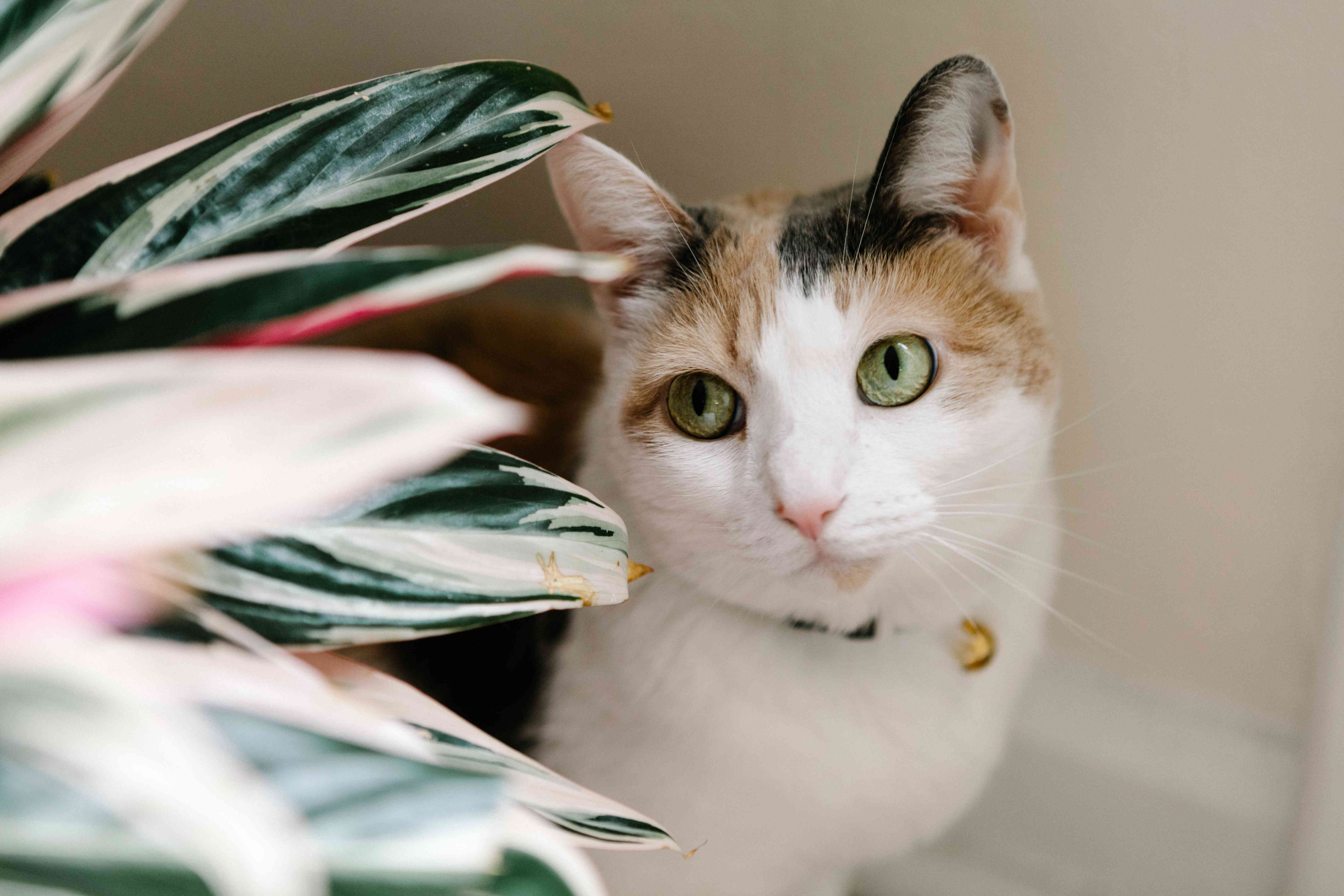calico kitty hides behind plant and stares off in distance