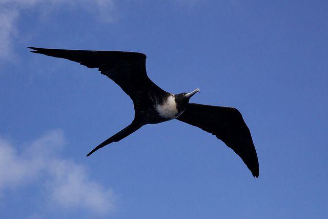 Flying frigatebird in the sky