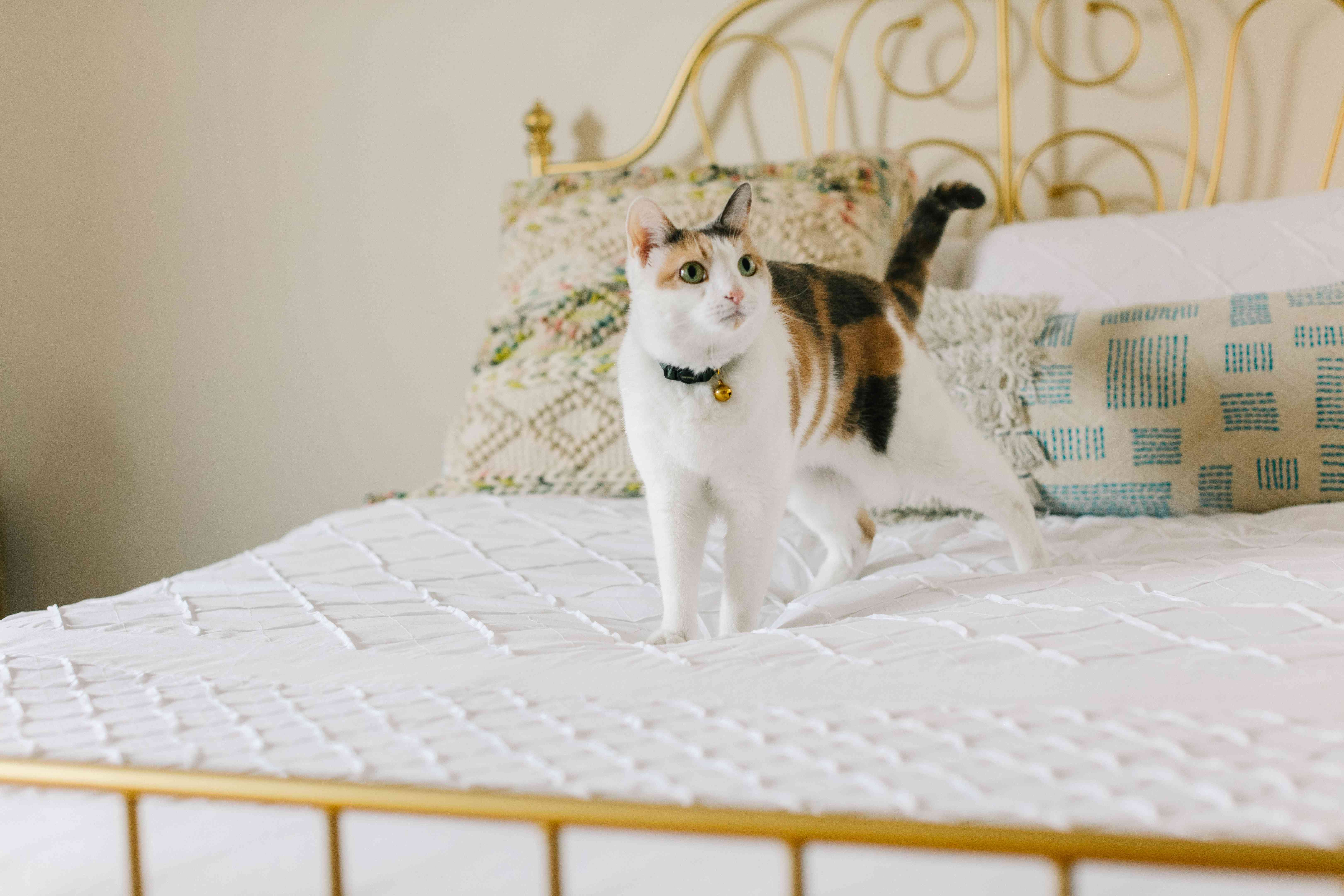 calico kitty stands on pretty white quilt on a gold metal bed