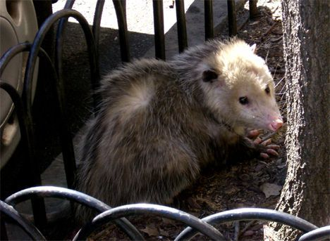 opossum in brooklyn photo