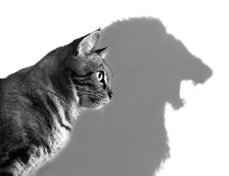 Tu gato tiene el corazón (y la mentalidad) de un león