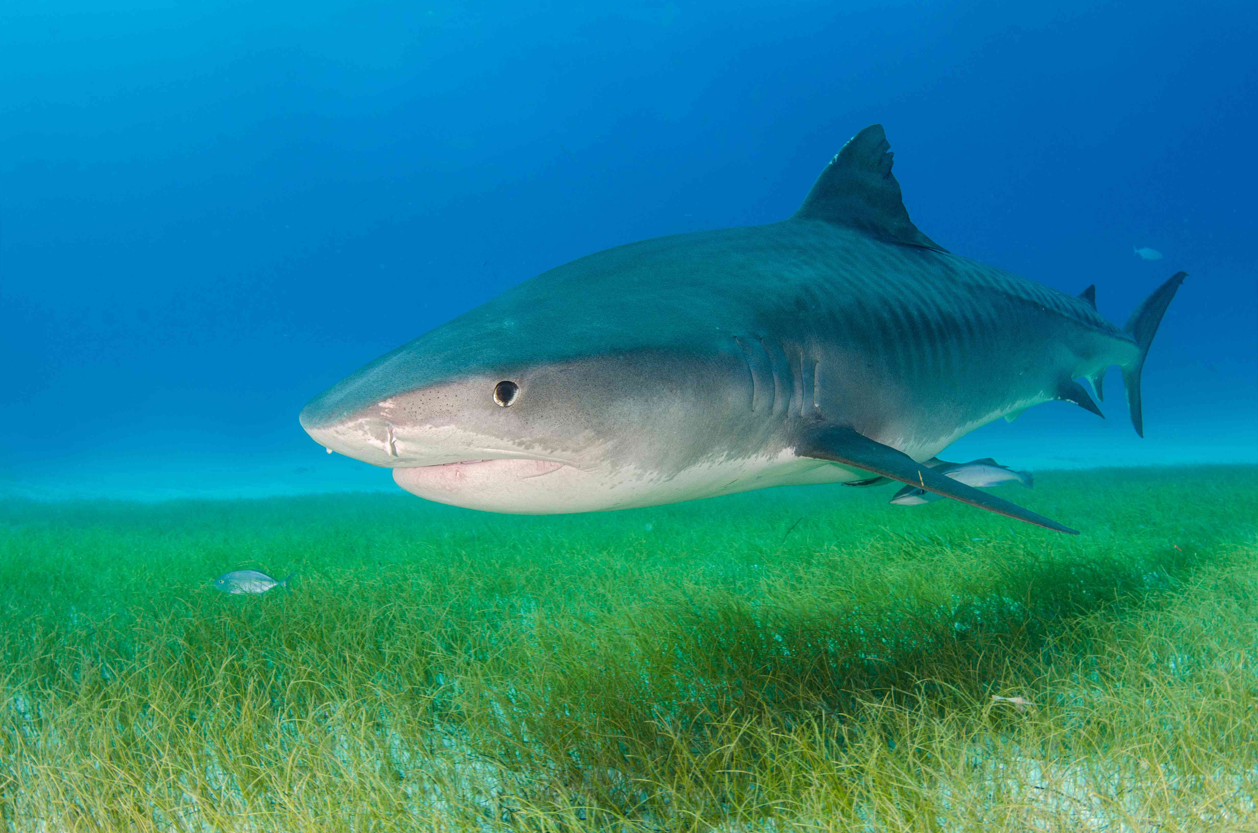 tiger shark and seagrass