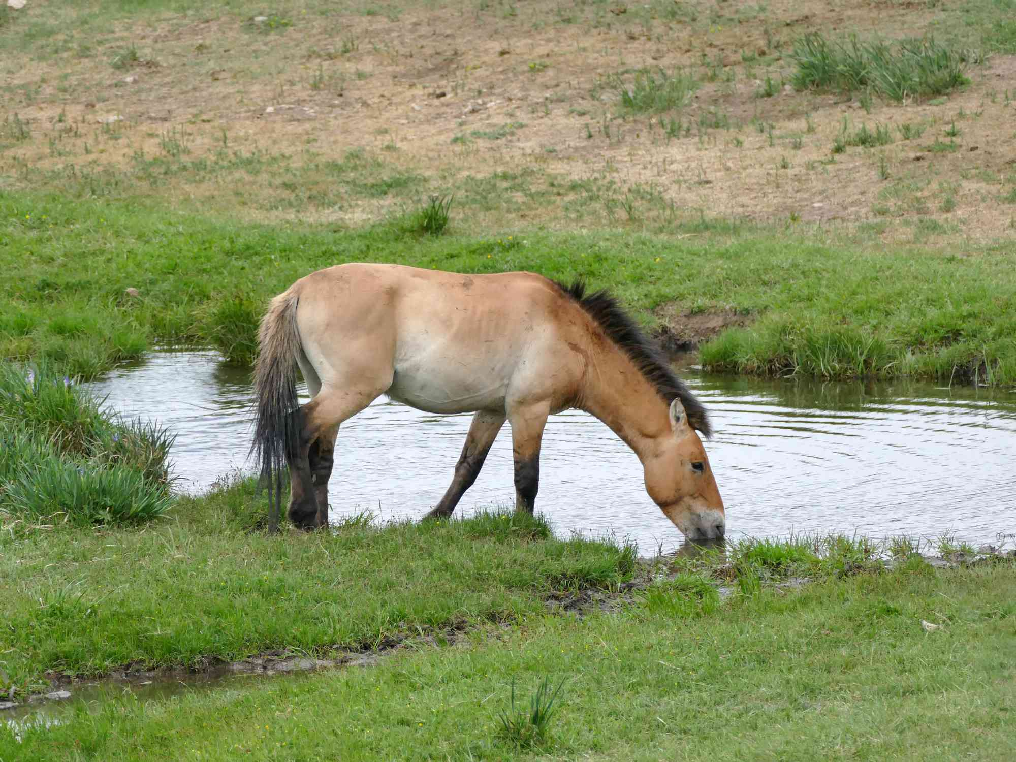 light tan Przewalski's horse bends down to drink water surrounded by green grass