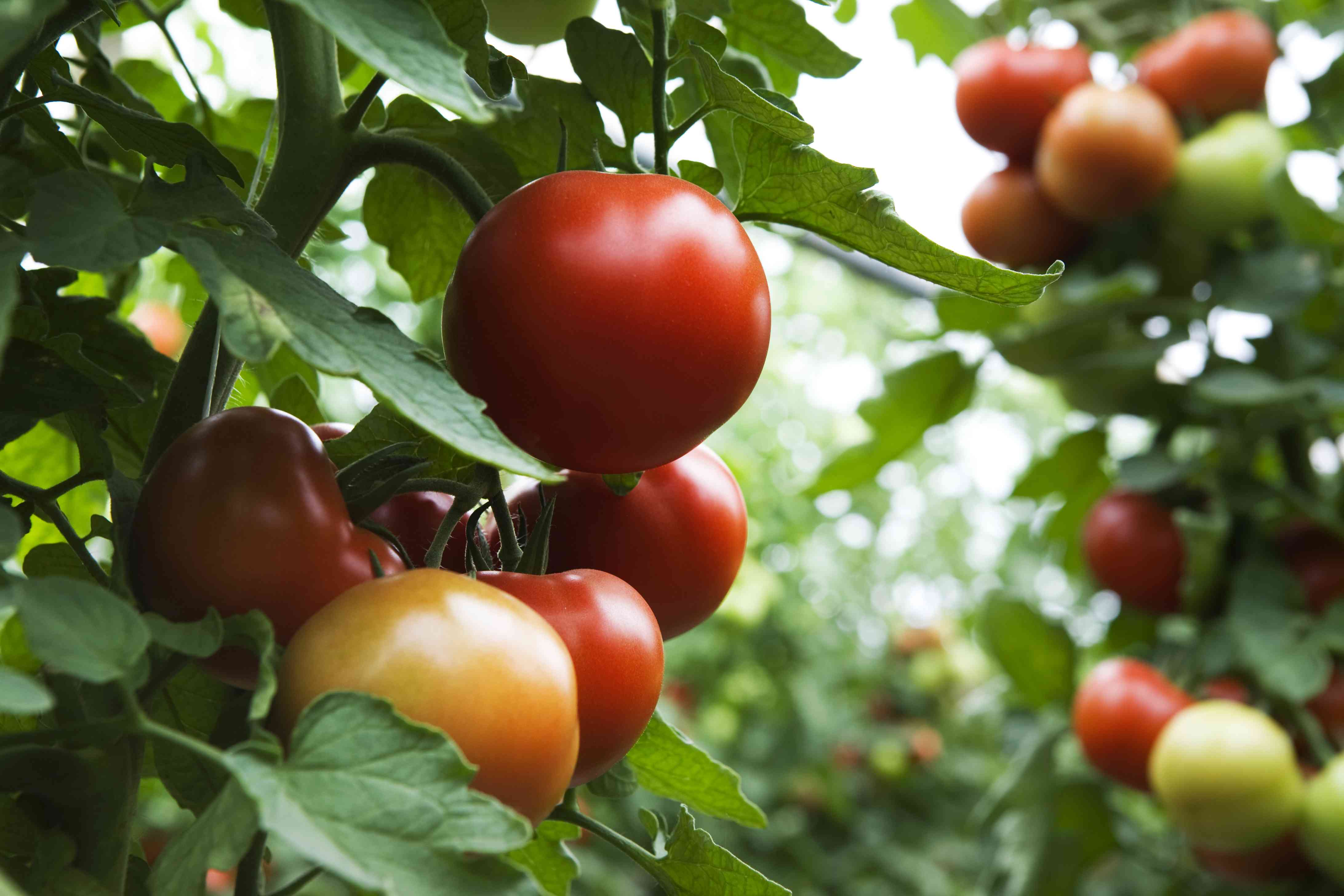 close-up of tomato plant with lots of ripe fruits