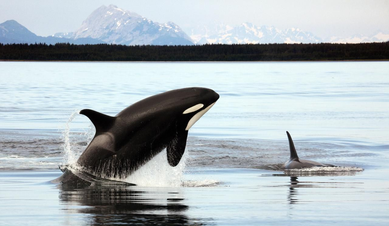One black and white orca leaping in the air and another with only a fin showing above water on a flat body of water with mountains in the distance.