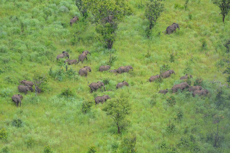 Una vez catastrófica, la caza furtiva de elefantes en la reserva de Niassa cae a cero