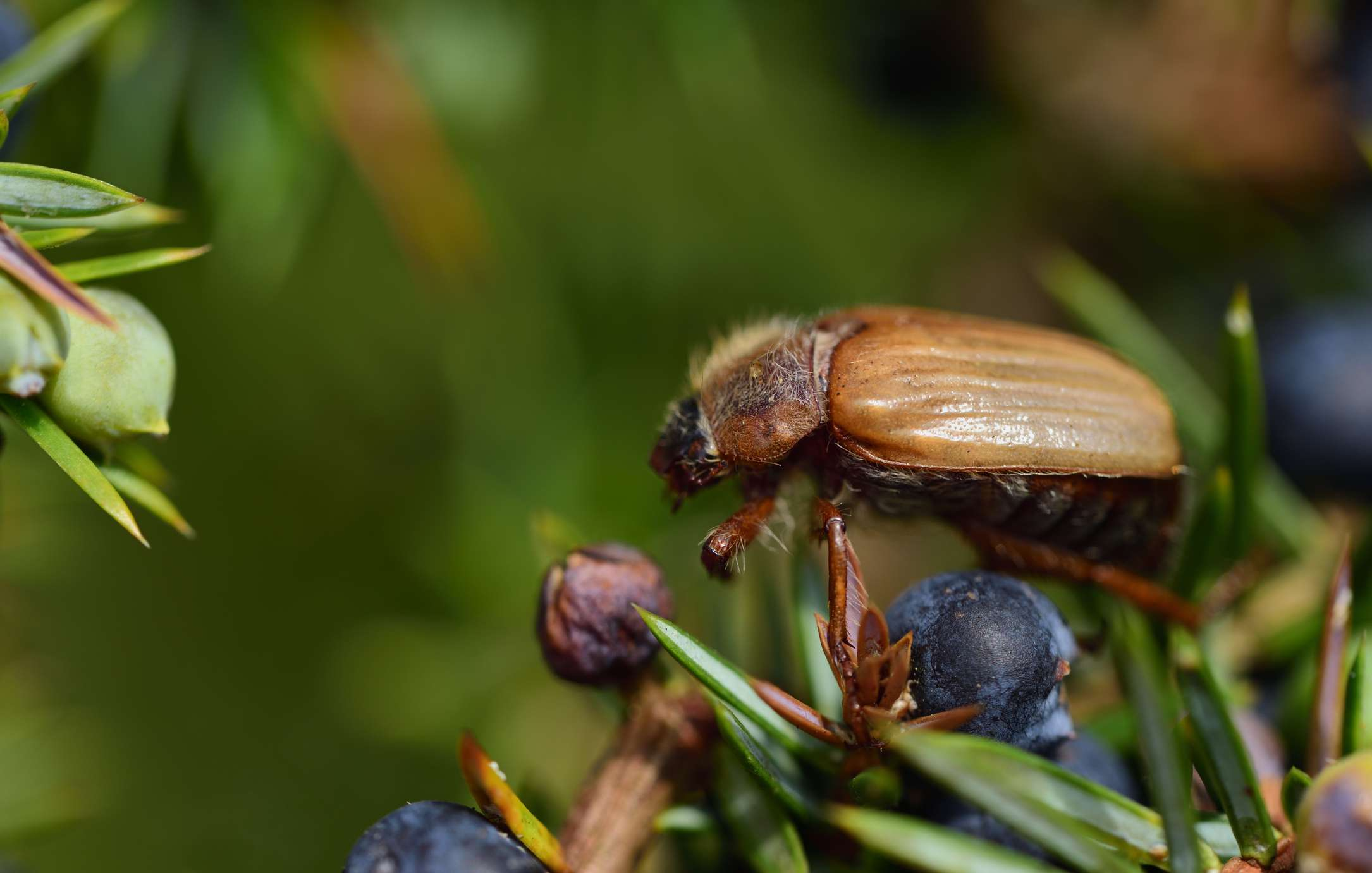 A brown beetle on a juniper bush with berries.