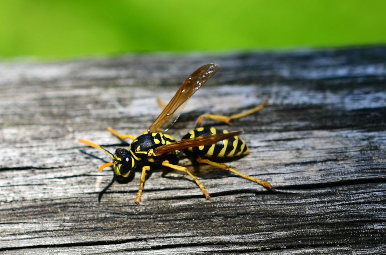 Wasp resting on wood