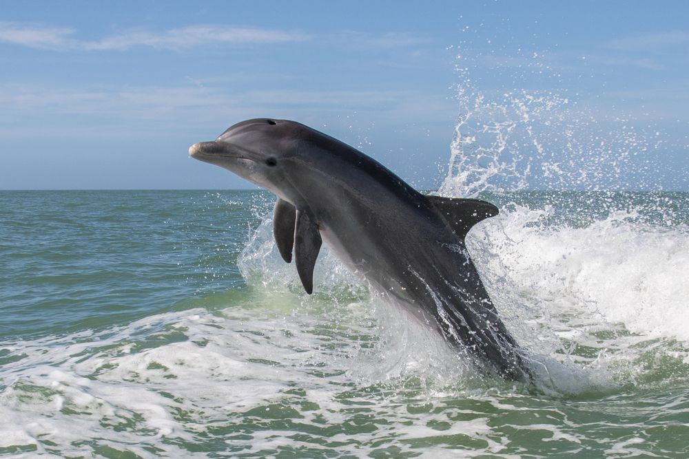 Dolphin leaping in the ocean