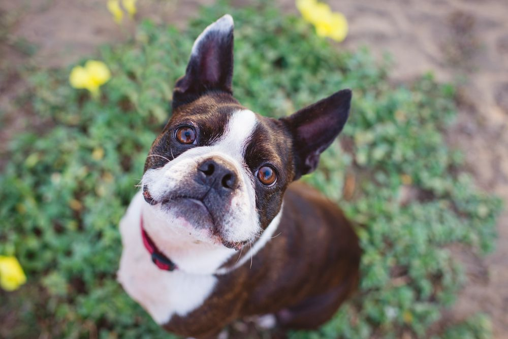 brown and white Boston terrier sitting on a small patch of grass and flowers looking up