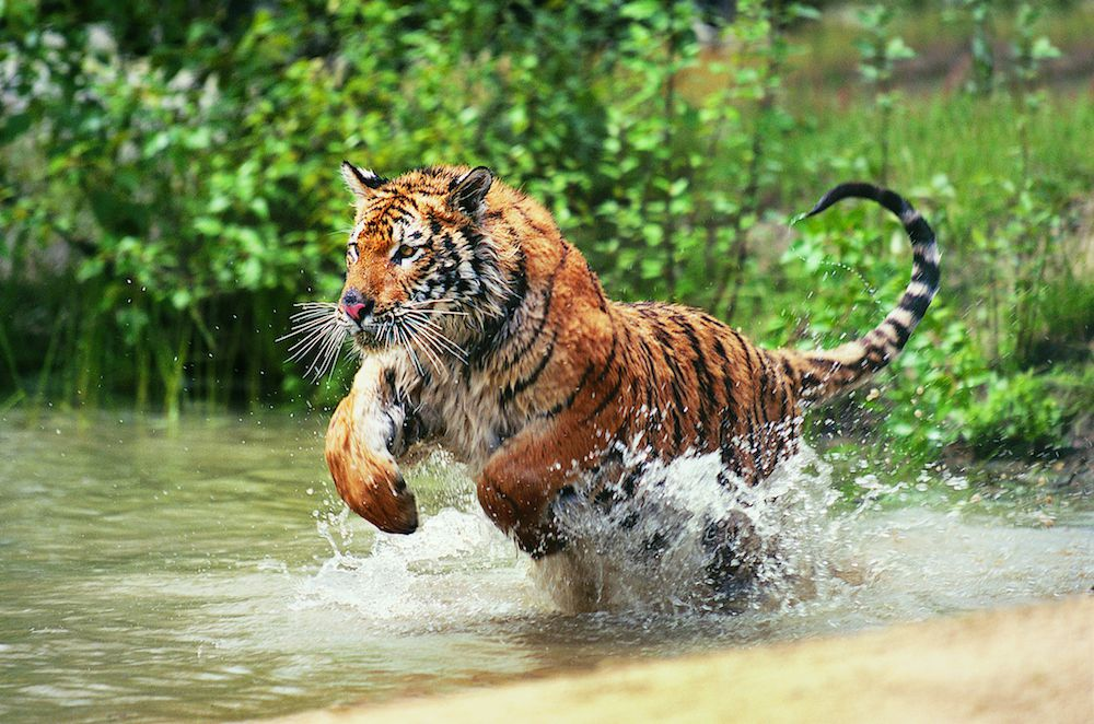 A tiger leaps into the water