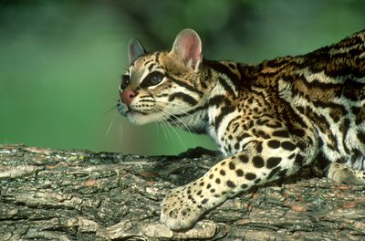 Small ocelot crouches on a tree branch