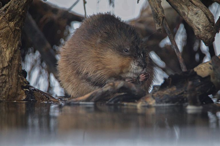 A muskrat eating at the edge of a lake