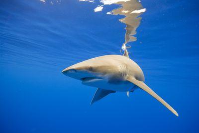 Oceanic Whitetip Shark, Hawaii
