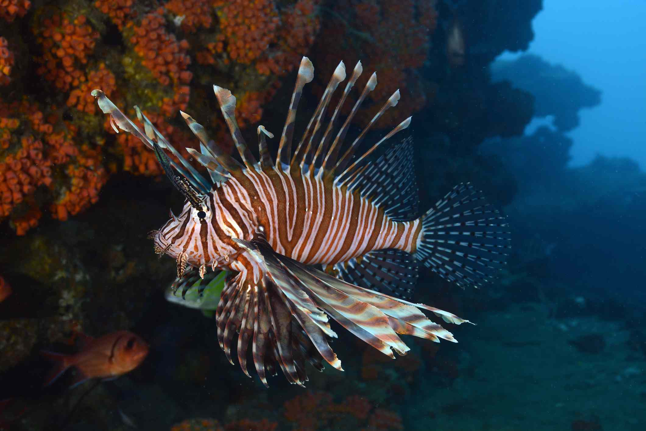 A bright orange and white lionfish next to a large orange coral reef