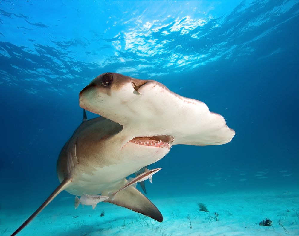 A hammerhead shark's specialized structure gives it extraordinary binocular vision.