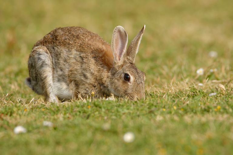 European wild rabbit eating grass