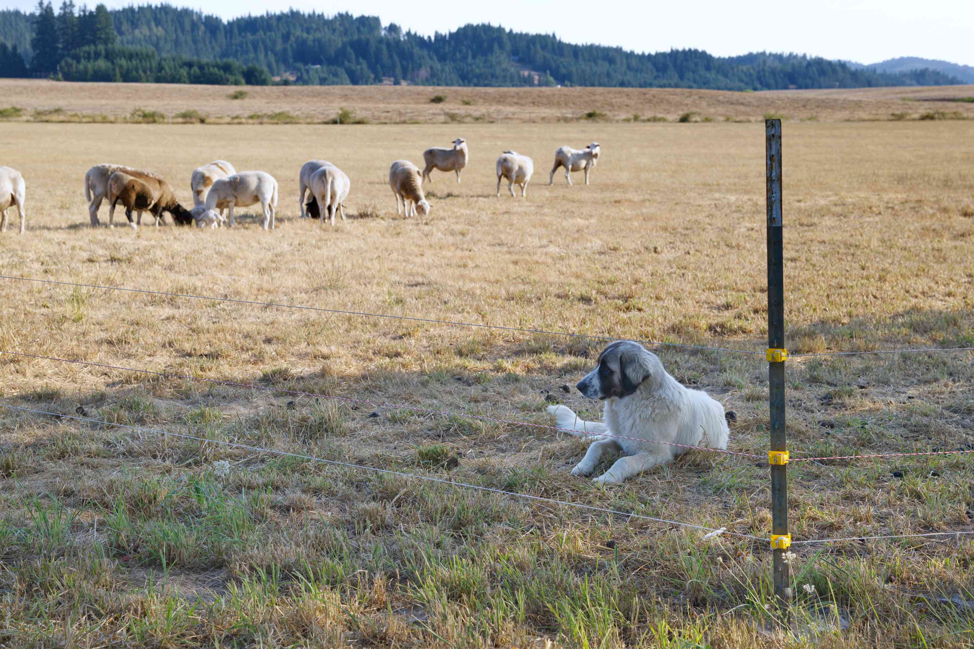 sheep-herding dog lays in open pasture and guards his sheep next to wire fence